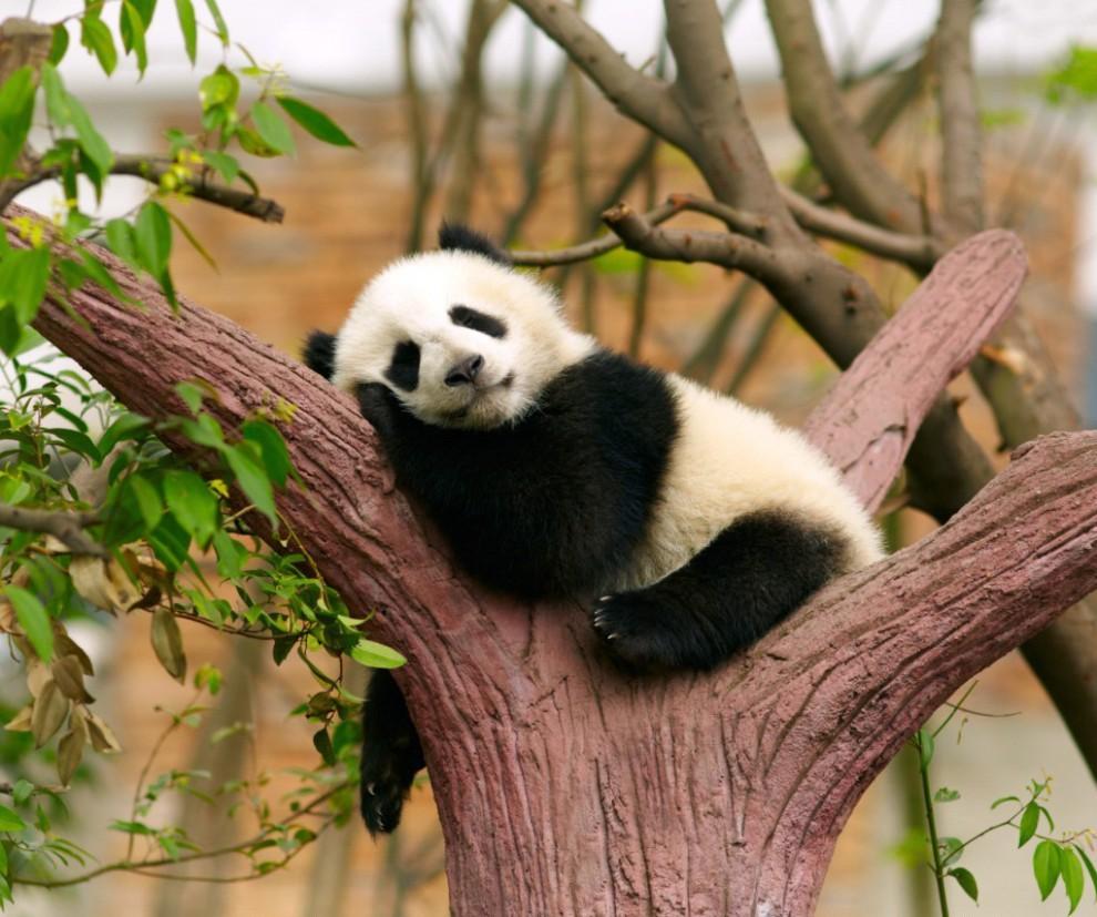 r2_fototelegraf.ru_Asia-China-panda-26-990x827_bd21a39b